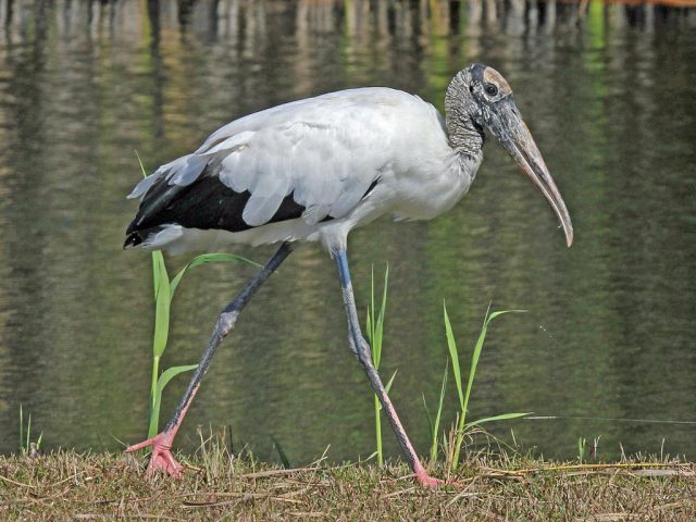 Wood Stork - Wikimedia Commons