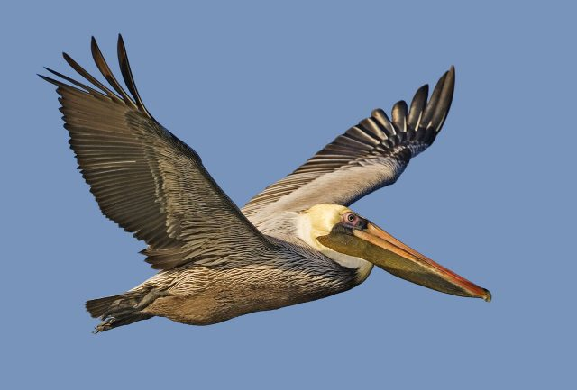 Brown Pelican - Wikimedia Commons