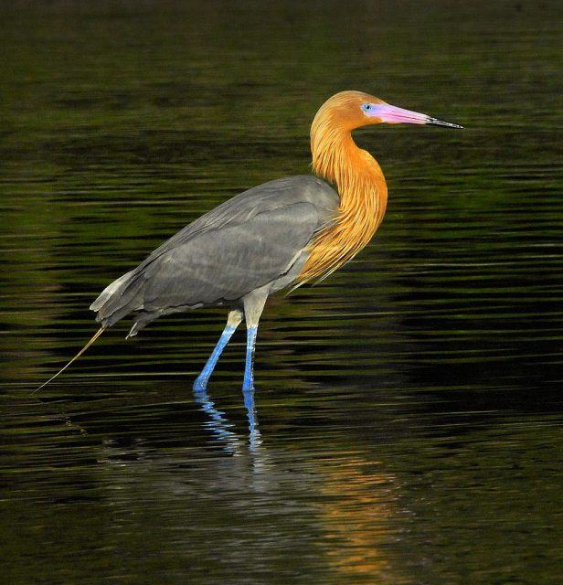 Reddish Egret - Wikimedia Commons