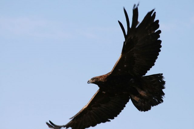 Golden Eagle - Wikimedia Commons