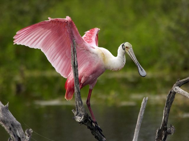 Roseate Spoonbill - Wikimedia Commons