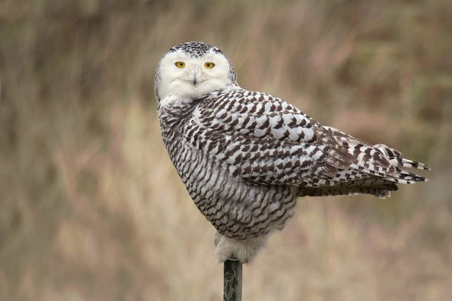 Snowy Owl - Wikimedia Commons