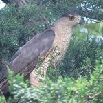Carrollton Cooper's Hawks