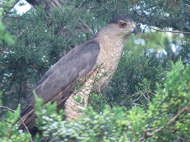 Momma Cooper's Hawk