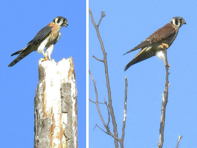 Male and female American Kestrels—Richardson, Texas.