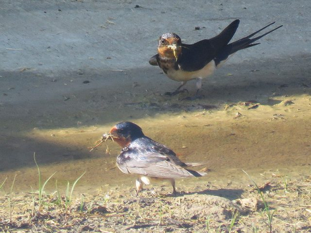 Barn Swallows collecting nesting materials—Carrollton, Texas.