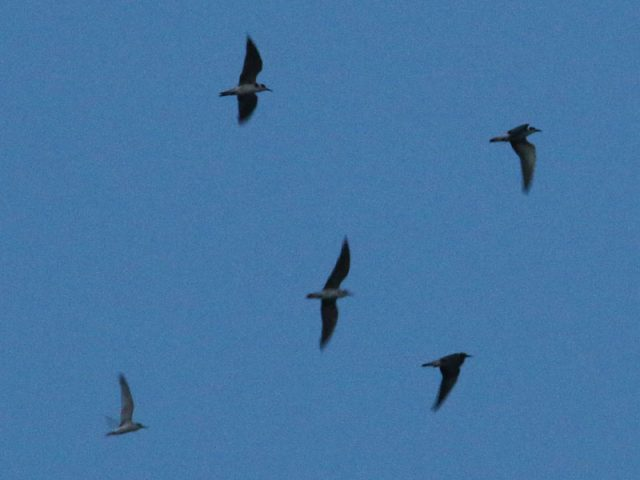 Black Terns flying with the Lewisville Least Terns.