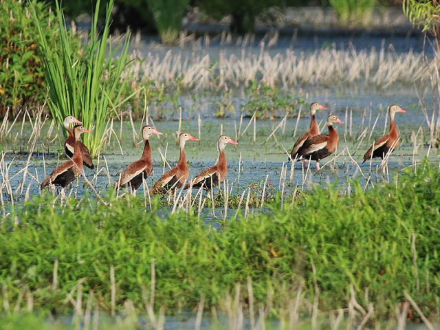 Black-bellied Whistling Ducks—Dallas, Texas.