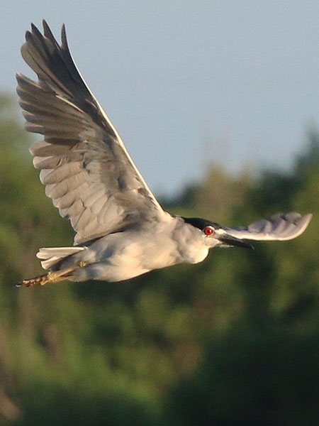 Black-crowned Night Heron in flight—Dallas, Texas.