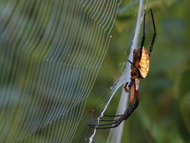 A huge Black and Yellow Garden Spider—Dallas, Texas
