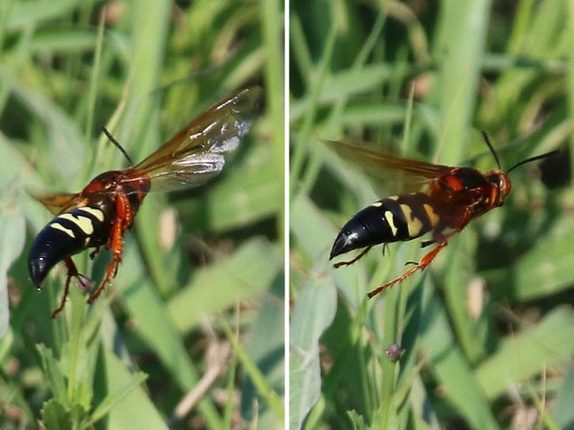 The Cicada Killer—the three inch long wasp.  Lewisville, Texas