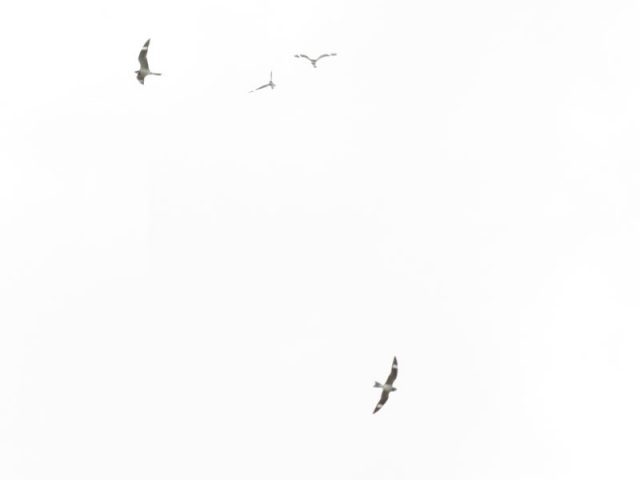Migrating Common Nighthawks over The Colony, Texas.