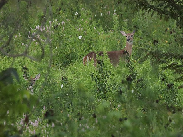 White-tailed Deer with fawn in Denton, Texas.