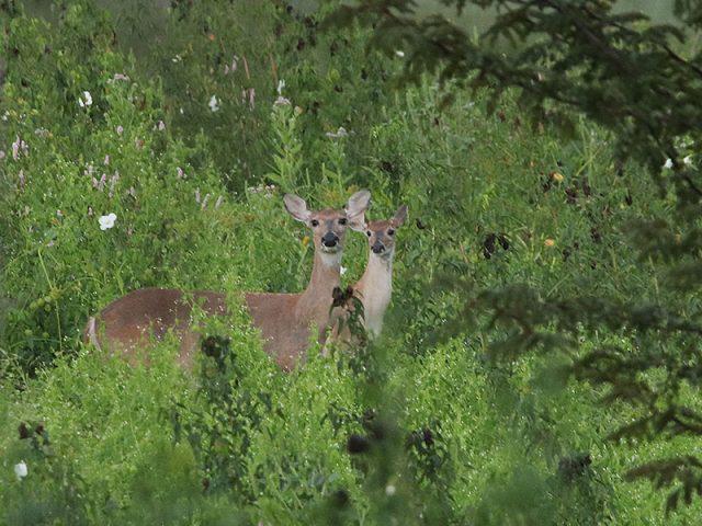 Denton Deer