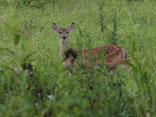 A second fawn.