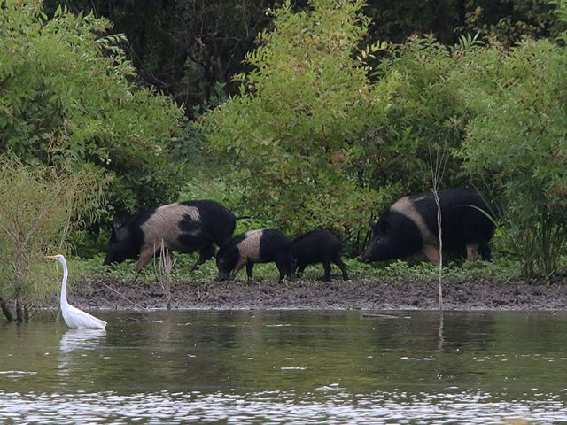 A family of Feral Hogs working their way along the Trinity River in Dallas, Texas.