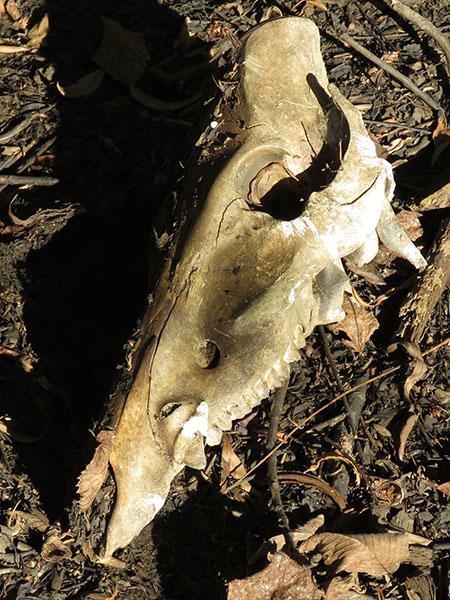 Feral Hog skull—Denton, Texas.