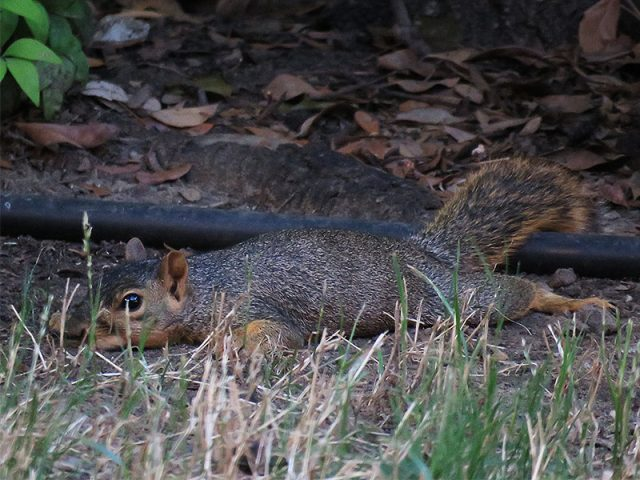 A Fox Squirrel trying to find relief from the summer heat—Carrollton, Texas.
