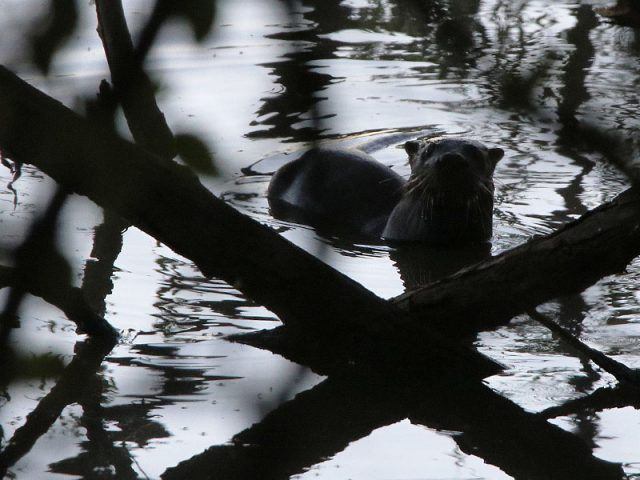 River Otter—Dallas, Texas
