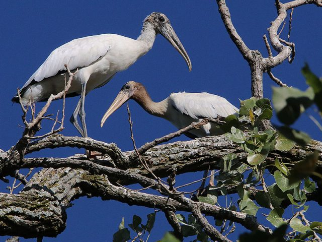 An adult Wood Stork (left) with a juvenile (right).  Dallas, Texas