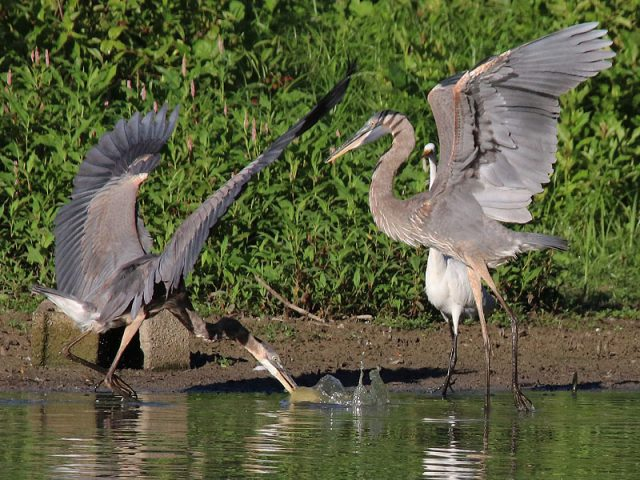 Great Blue Herons sparring over a fish—Dallas, Texas.