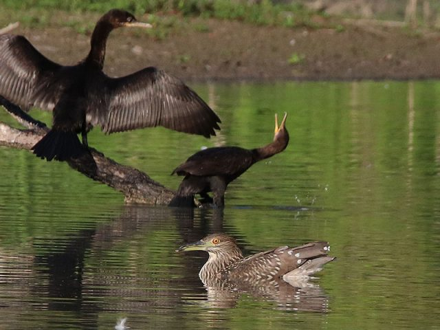 A juvenile Black-crowned Night Heron swimming like a duck.  Cormorants in the background.  Dallas, Texas