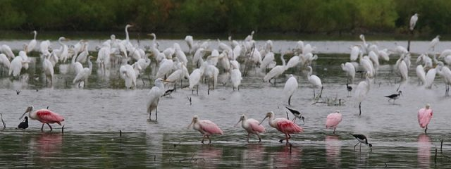 Roseate Spoonbills in a lake full of wading birds.  Dallas, Texas