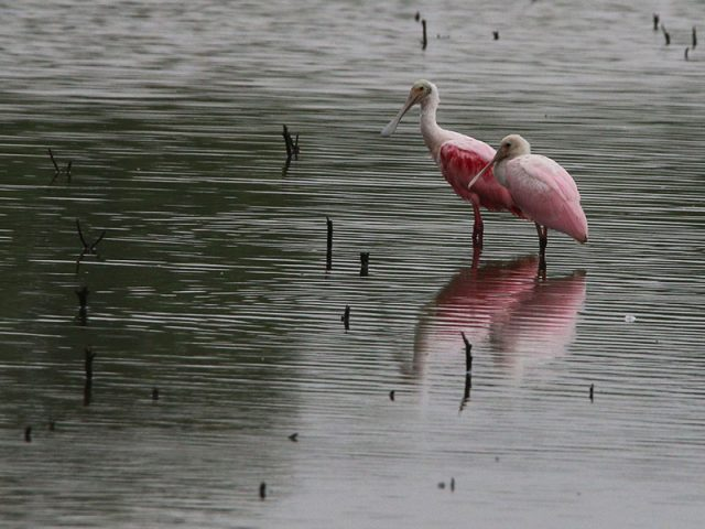 Roseate Spoonbills just a few short miles from downtown Dallas.