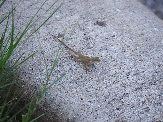 A hatchling Green Anole... maybe two inches long, including the tail.  Carrollton, Texas.