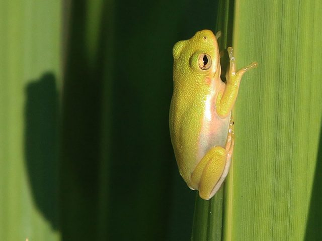 Green Tree Frog—Dallas, Texas.