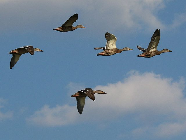 Mallards over Lewisville Lake.