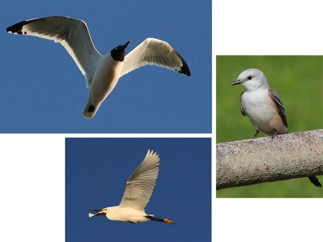 Clockwise starting at the top—Franklin's Gull, and early summer Scissor-tailed Flycatcher, and a Snowy Egret—Hickory Creek, Texas.