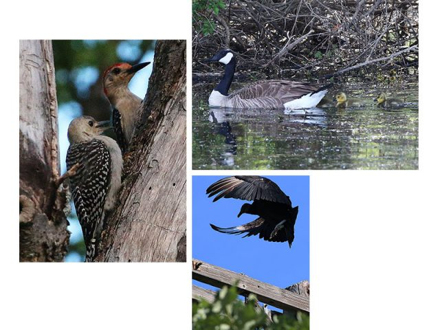 Red-bellied Woodpecker with juvenile, Canada Goose with goslings, and a Black Vulture—Hickory Creek, Texas.