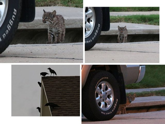 A pair of Bobcat kittens emerging from a storm drain in a Carrollton subdivision.  Their sudden appearance was very upsetting to the resident American Crows.  Mom Bobcat showed up just before sunset.