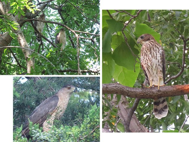 Cooper's Hawks in Carrollton, Texas.  Clockwise from the top—Mom and newly fledged juvenile, the juvenile Cooper's Hawk, the adult male.