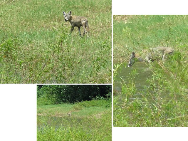 A Coyote stopping for a drink on a hot July afternoon—Lewisville, Texas.