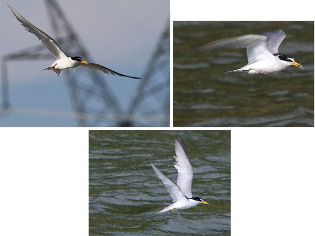 Least Tern over Lewisville.  One of my favorite sightings of the summer.