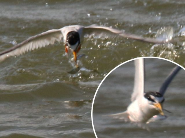 This Least Tern somehow manages to pluck TWO little fish from the water in one dive!