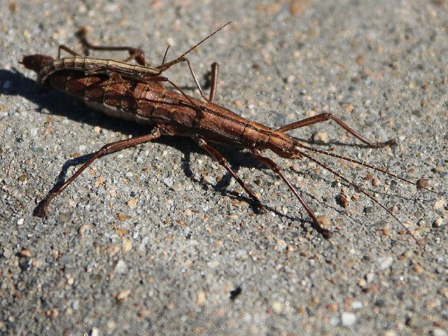 A pair of Northern Two-striped Walking Sticks.  The male is decidedly smaller than the female.  Dallas, Texas