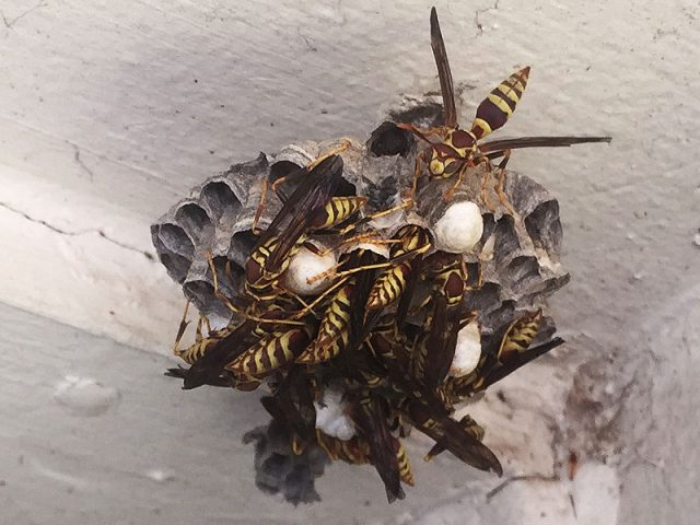 Paper Wasp in Lewisville, Texas.