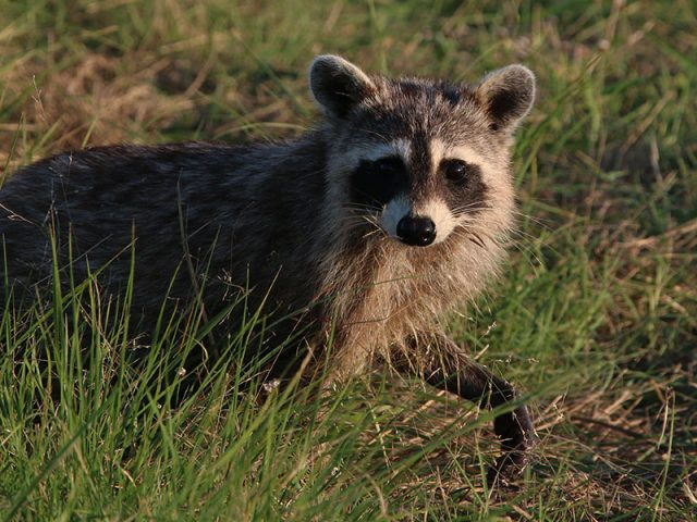 Raccoon—Lewisville, Texas.