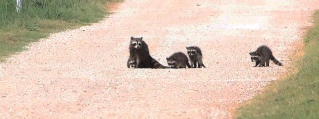 A Raccoon family patrolling Lewisville, Texas.