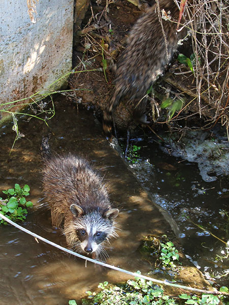 Juvenile Raccoons playing in the water.