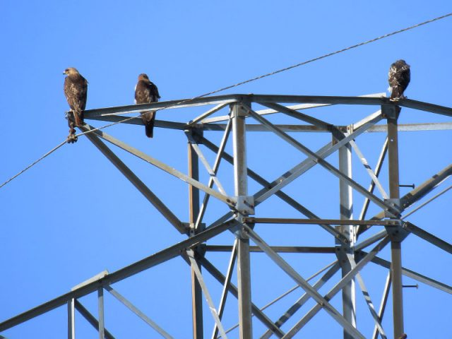 A Red-tailed Hawk family in Richardson, Texas.  The two adults are on the left.  The juvenile is on the right.