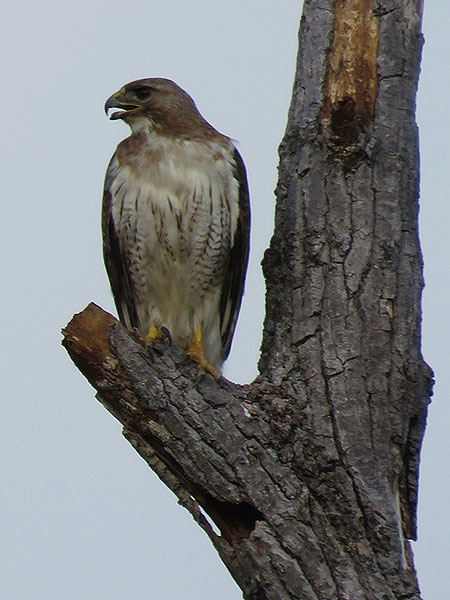 A pale-colored Red-tailed Hawk—Richardson, Texas.
