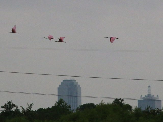 Roseate Spoonbills conducting a downtown Dallas flyby.
