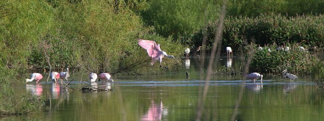 Roseate Spoonbills feeding with White Ibis and a Tricolored Heron.  Dallas, Texas