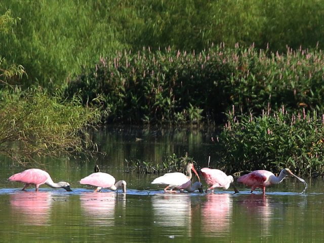 Roseate Spoonbills joined by a lone White Ibis—Dallas, Texas.