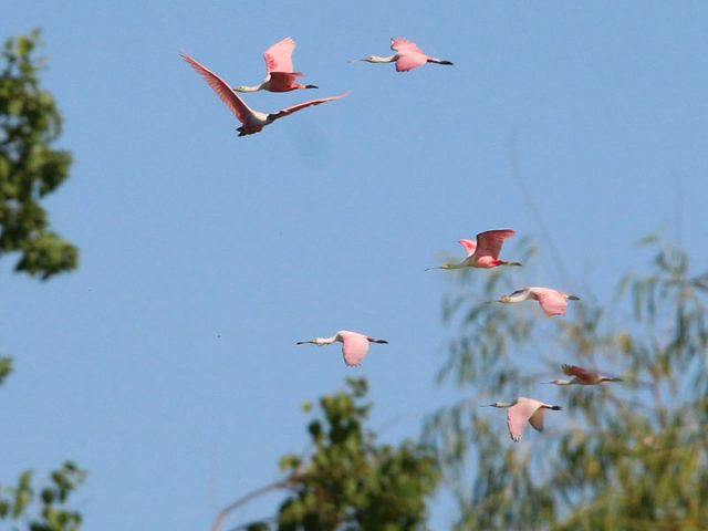 Roseate Spoonbills in flight over Dallas, Texas.