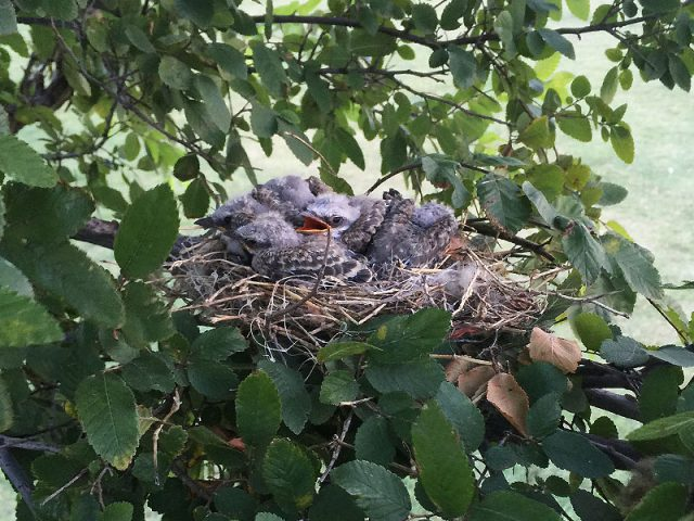 A whole nest full of baby Scissor-tailed Flycatchers—Lewisville, Texas.